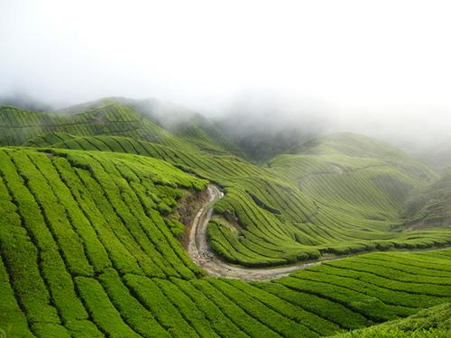 SAUJANA PANDANGAN... Ladang teh di Cameron Highland